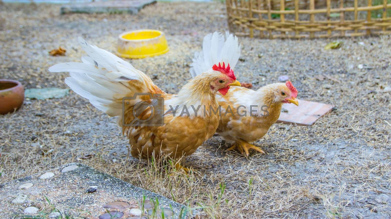 Colorful Rooster. Cock with Brown feathers. Bantam