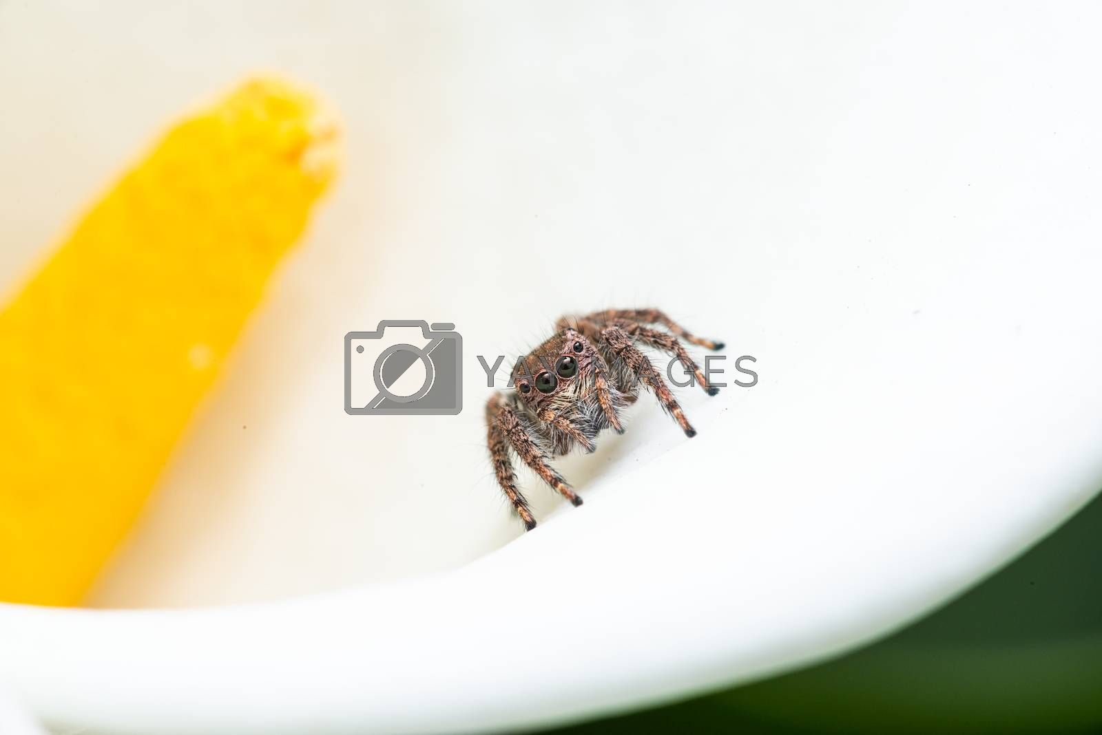 Macro shot of a jumping spider on a white Calla Lily flower
