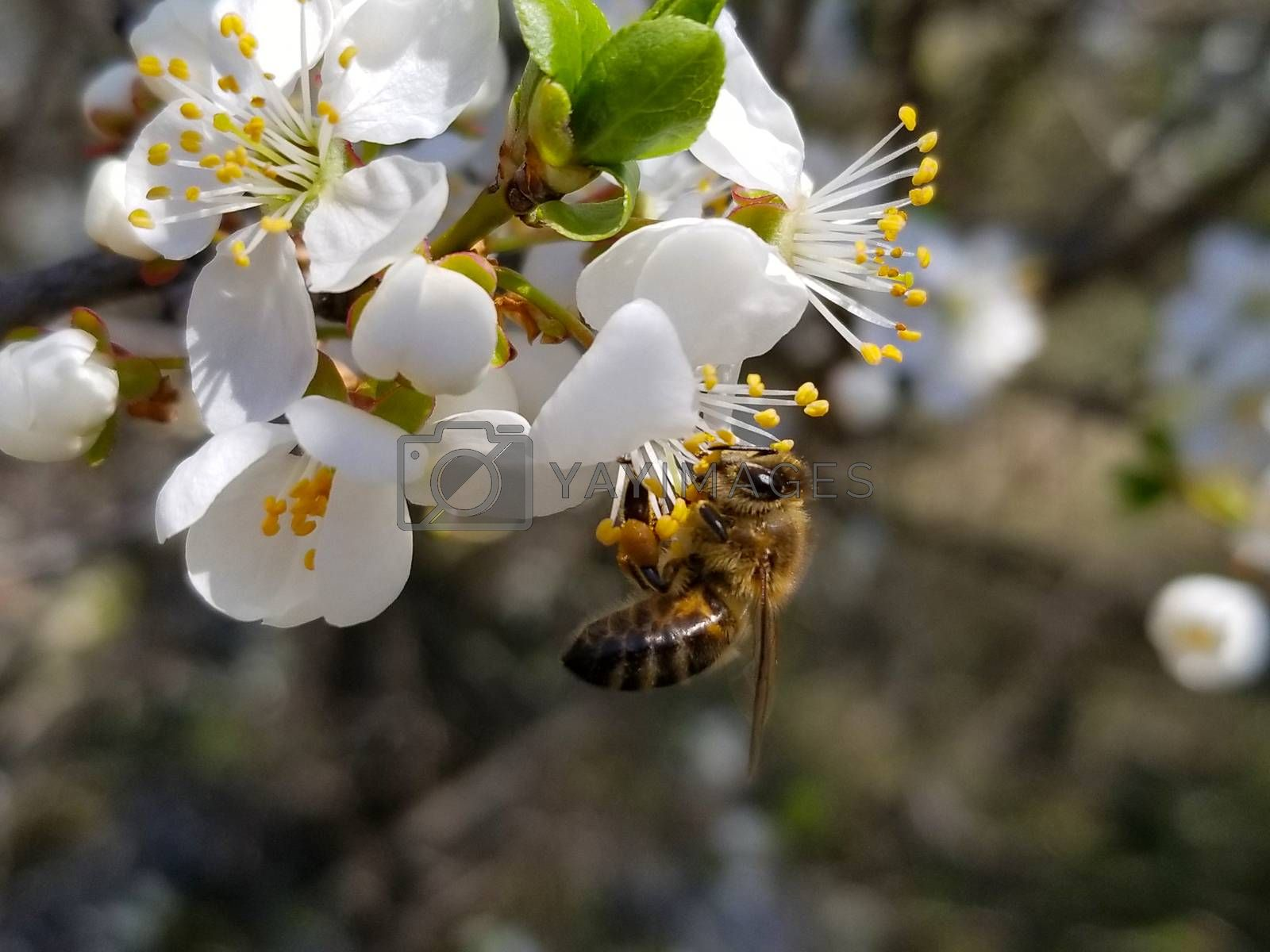bee collects nectar on the flowers of white blooming apple. Anthophila, Apis mellifera. Close up