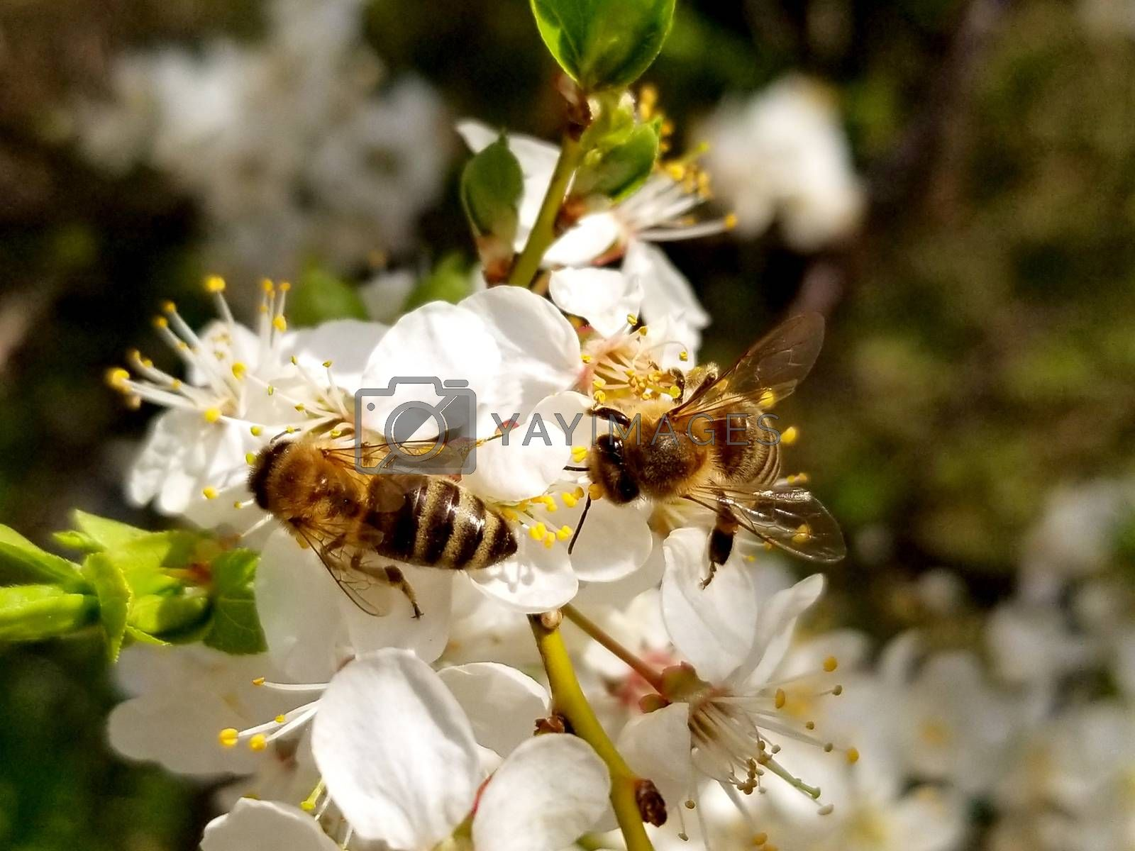 two bees collects nectar on the flowers of white blooming apple. Anthophila, Apis mellifera. Close up