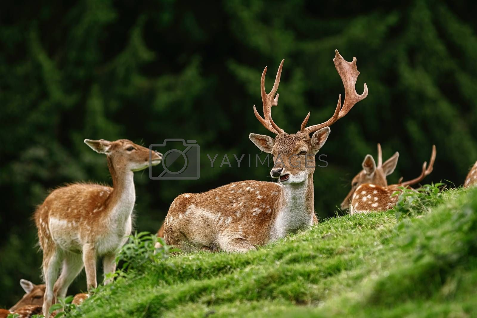 Deer Grazing near the Forest on the Slope of a Hill