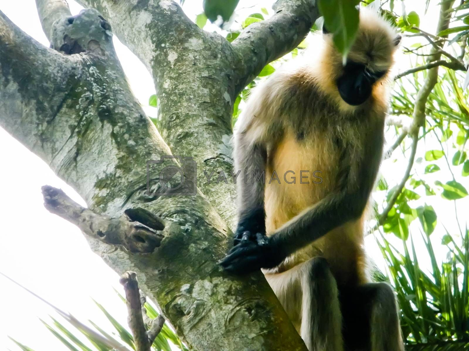 Common indian Monkey on tree branch in Bhadra wildlife sanctuary karnataka India. Photography on summer day in nature green background.