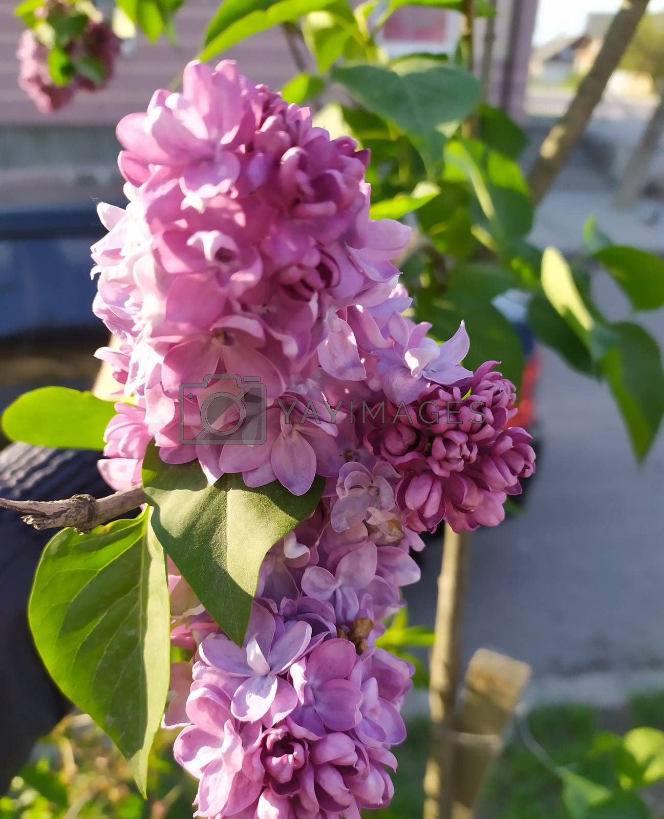 In the photo of a flower of lilac on a tree. Spring landscape