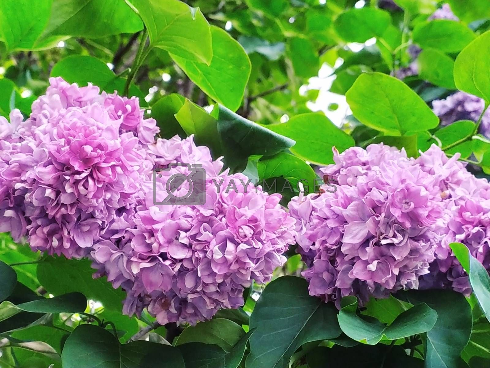 a branch of lilac on a tree. Spring flowering