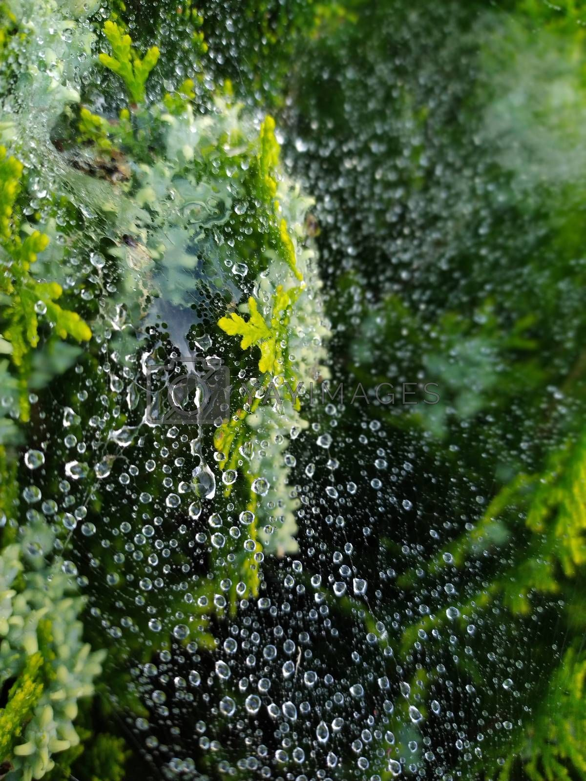 droplets on spider web by sagasan