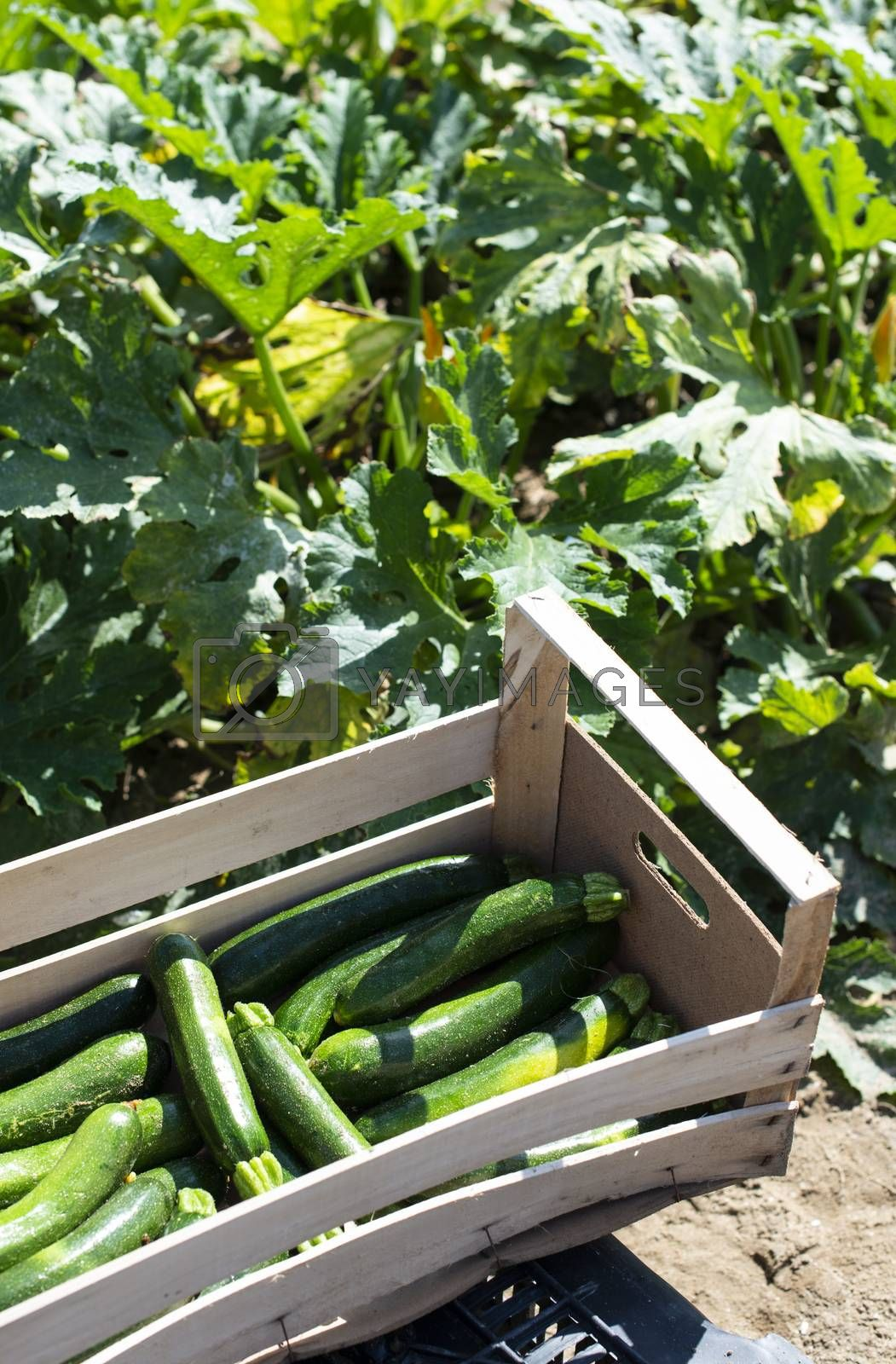 Picking zucchini in industrial farm. Wooden crates with zucchini by deyan_georgiev