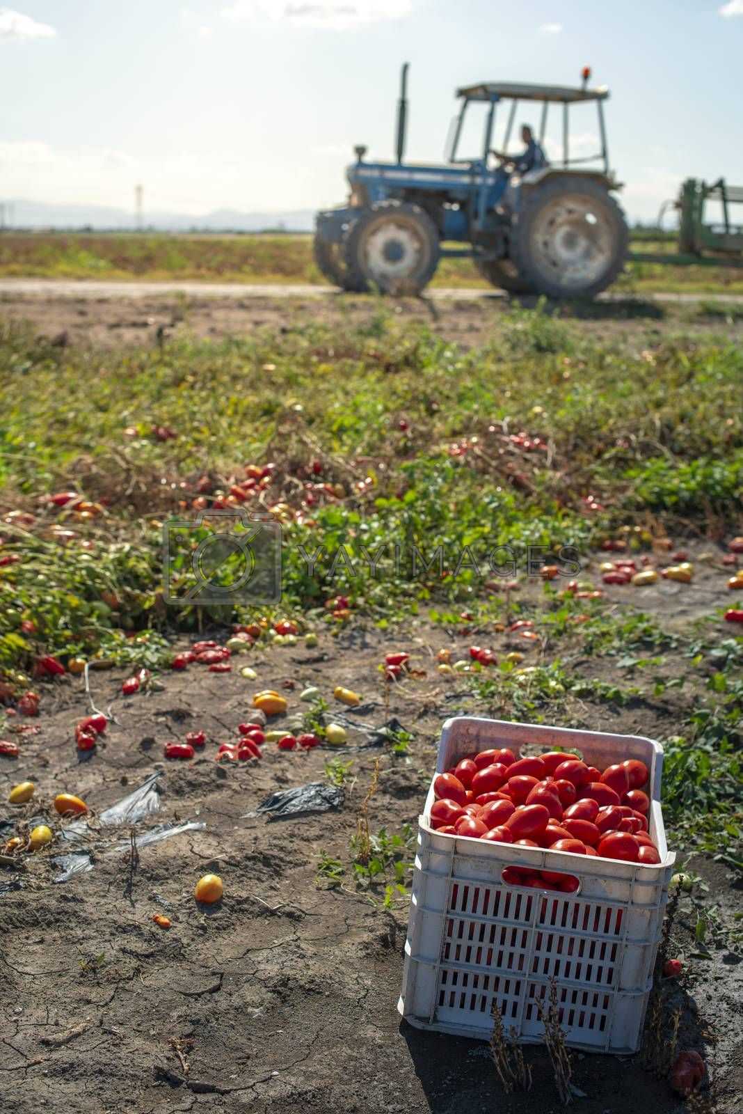 Picking tomatoes manually in crates. Tomato farm and tractor. Tomato variety for canning. Growing tomatoes in soil on the field. Sunny day.