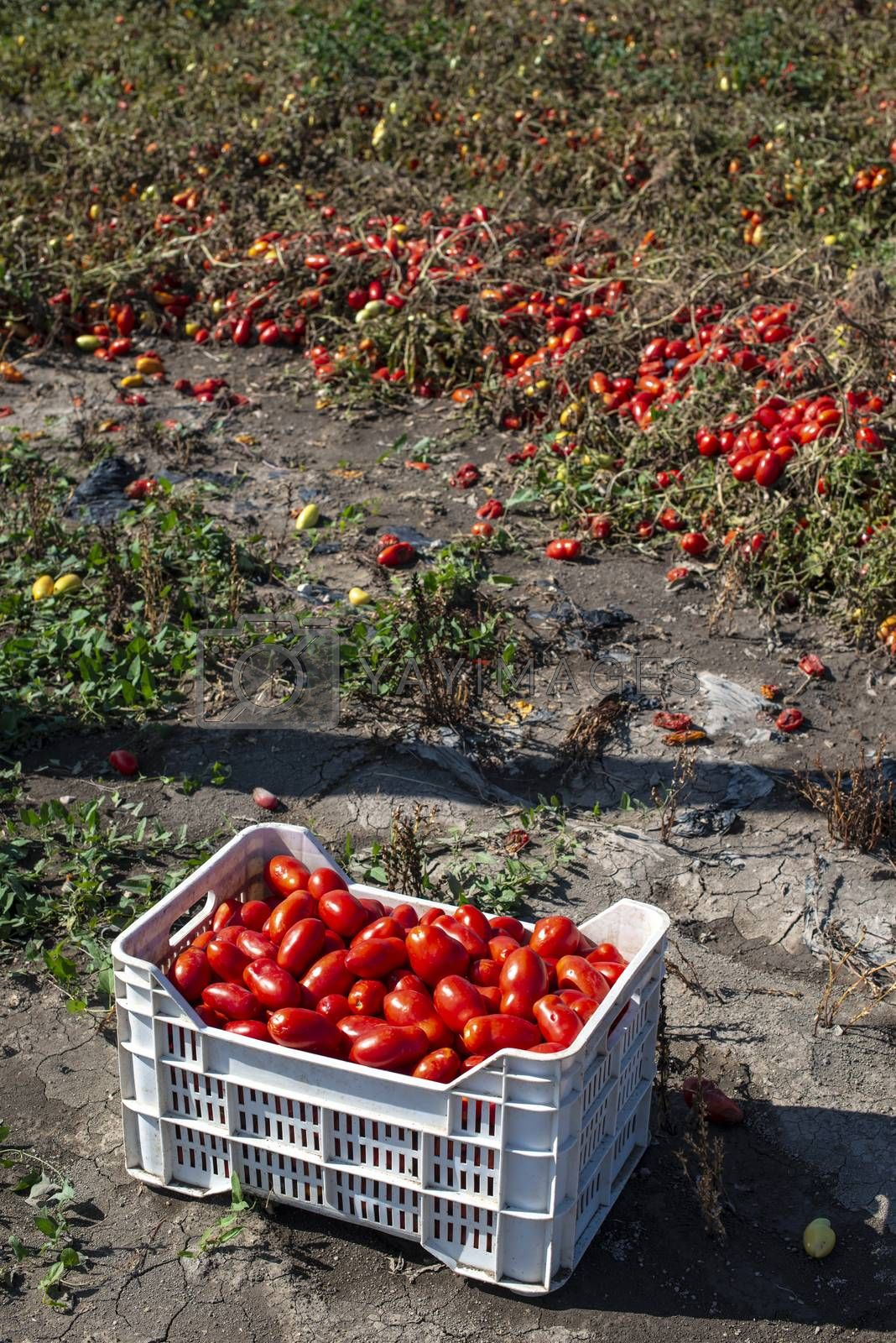 Picking tomatoes manually in crates. Tomato farm. Tomato variety for canning. Growing tomatoes in soil on the field. Sunny day.