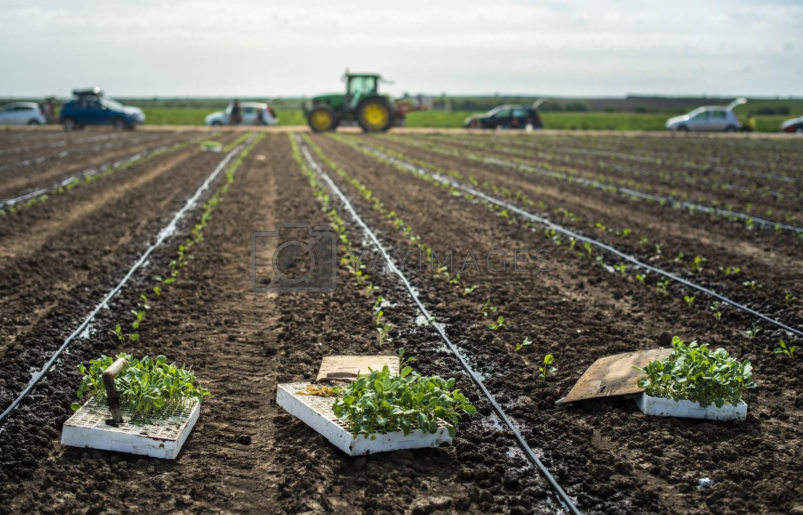 Seedlings in crates on the agriculture land. Planting new plants in soil. Big plantation. Planting broccoli in industrial farm. Tractor on the background.