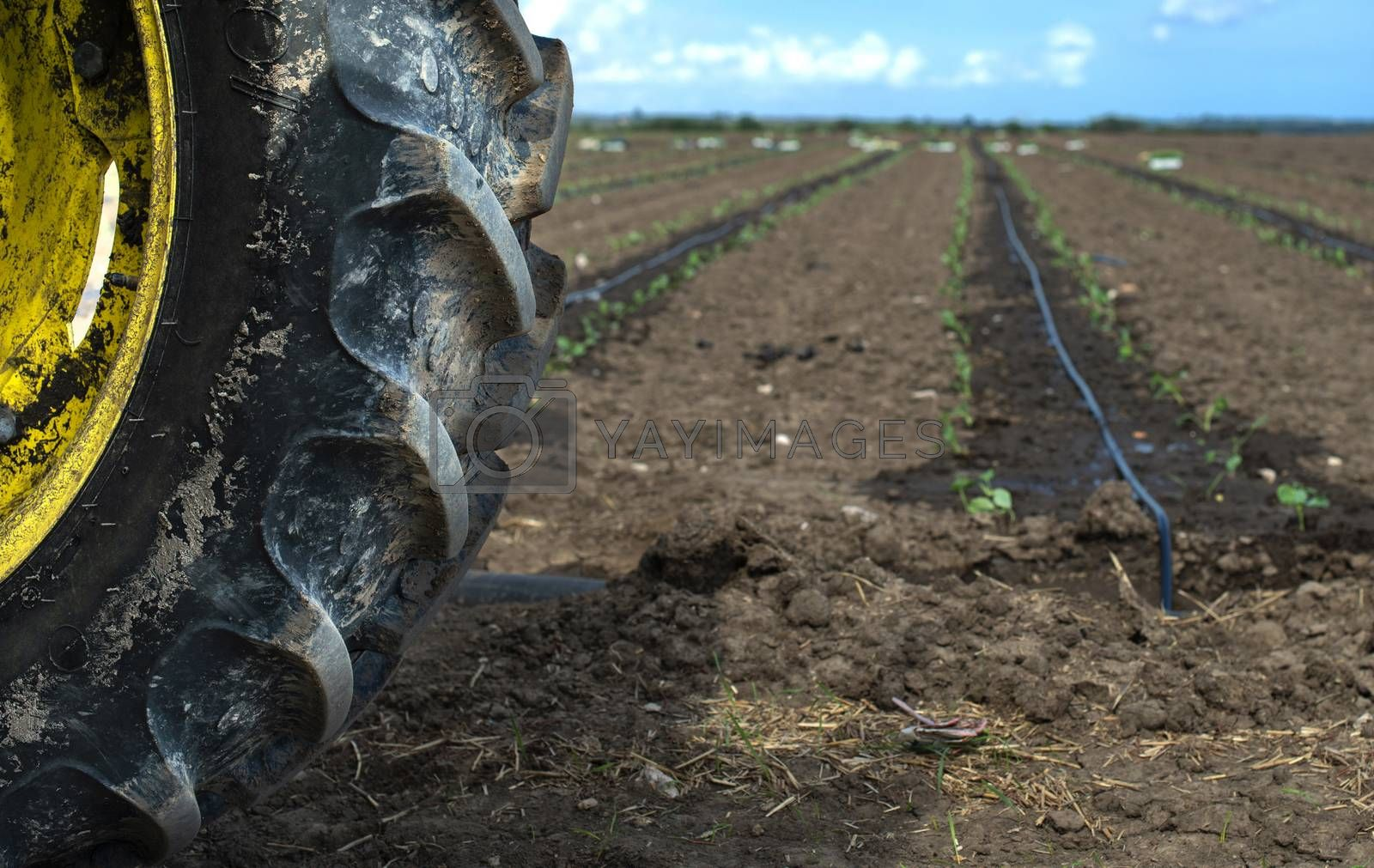Tractor tire seedlings in rows on the agriculture land. Planting new plants in soil. Big plantation. Planting broccoli in industrial farm.
