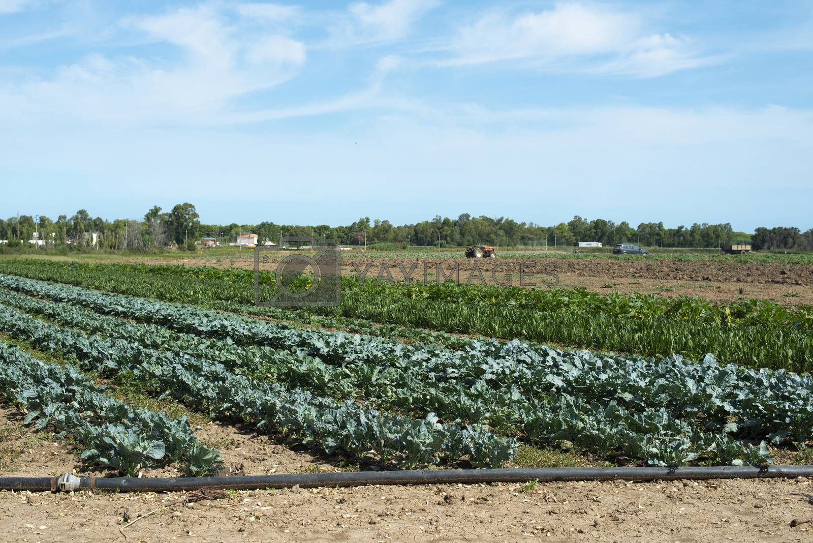 Big vegetable plantation. Industrial plantation with green plants in rows. Variety of vegetables in farm.