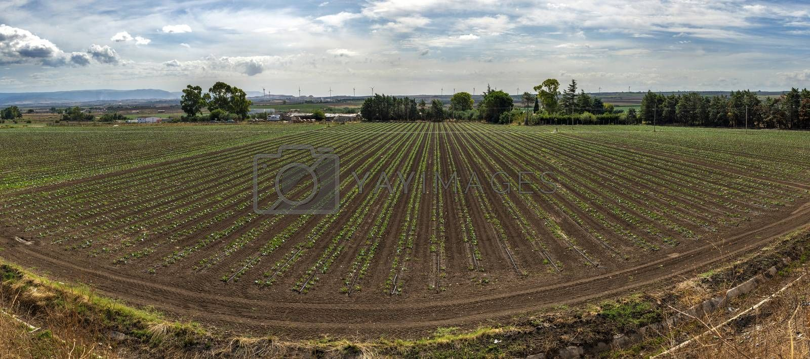 Newly planted broccoli plantation. Seedlings in rows. High view. Big industrial farm with vegetables.