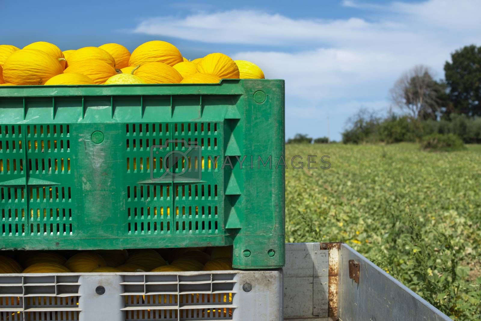 Canary yellow melons in crate loaded on truck from the farm. Transport melons from the plantation. Sunny day.