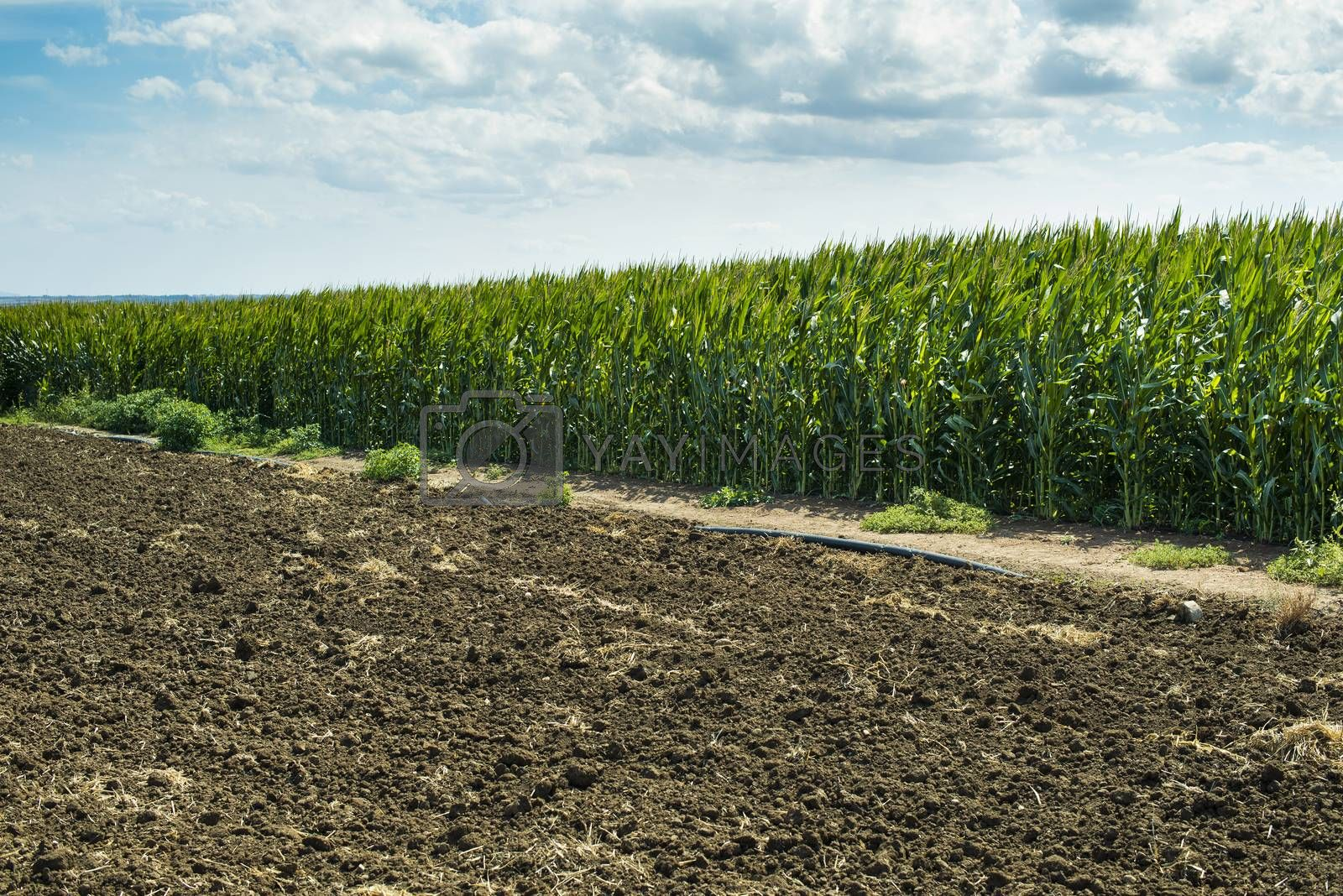 Plowed soil and plantations with corn in the background. Agriculture corn farm.