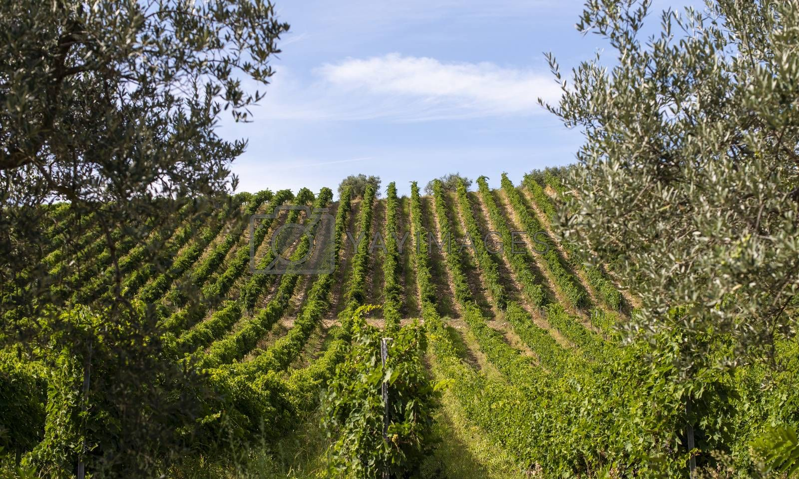 Vineyards with red grape for wine making. Big italian vineyard rows. Sunny day.