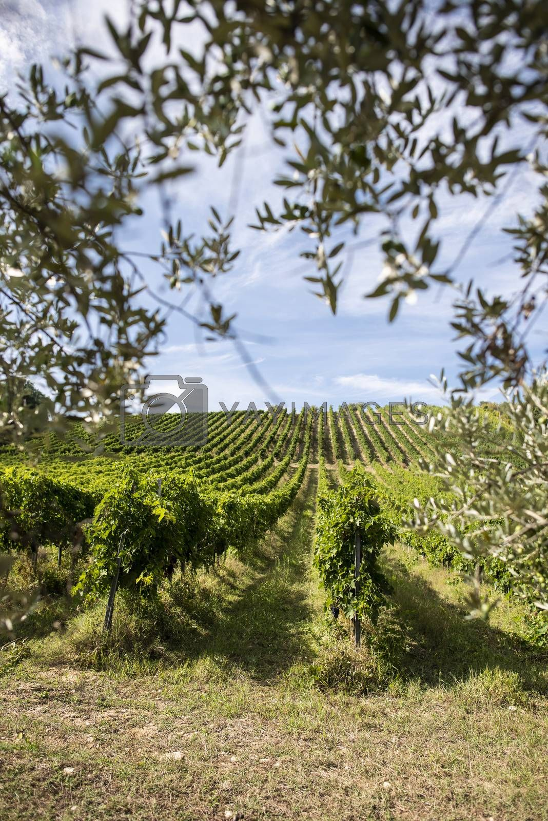 Vineyard rows and olive tree branches on foreground. Growing wine grapes and olives in countryside. Food travel concept in Italy.