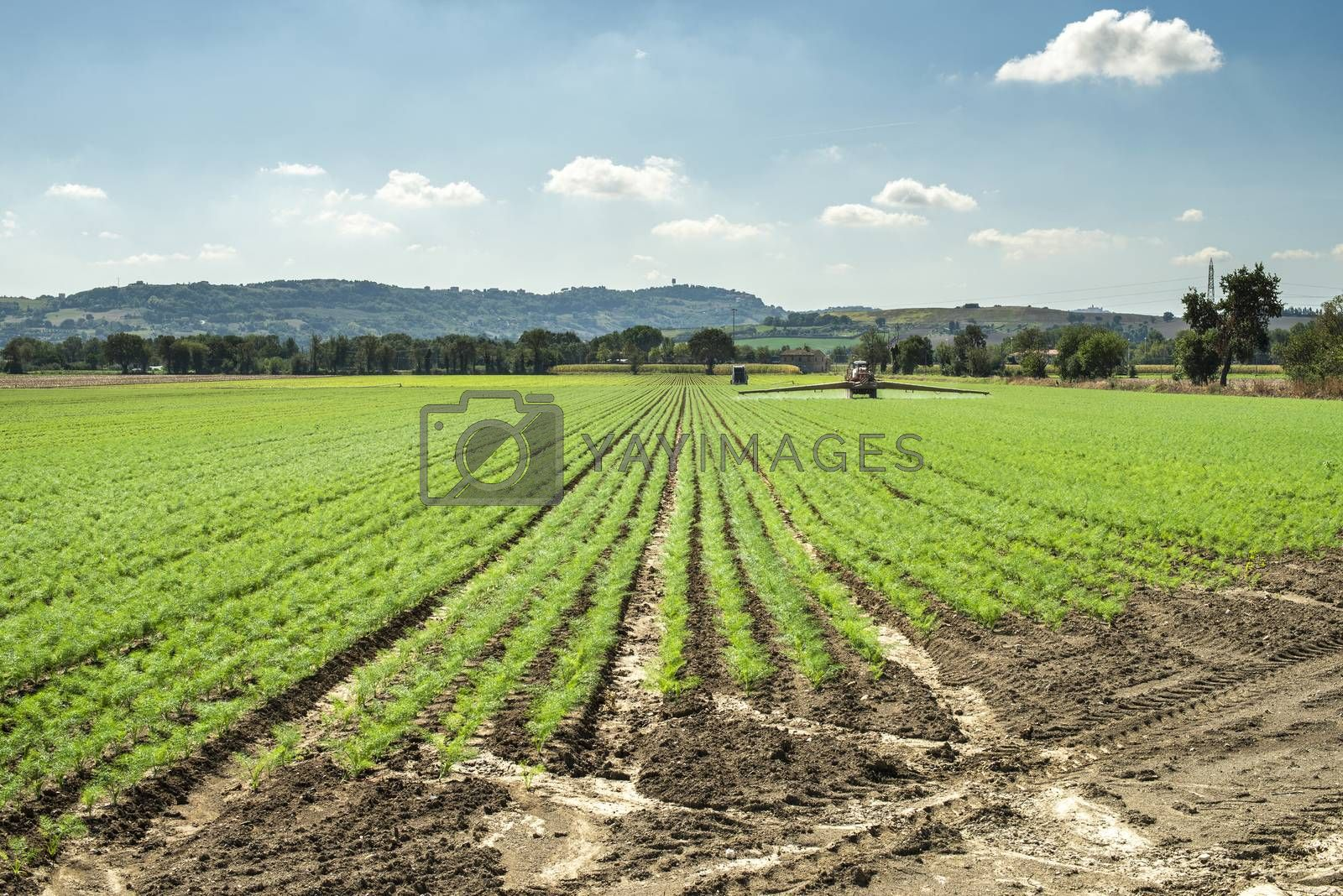 Fennel young plants in rows. Agriculture land with small fennel plants. Big farm.