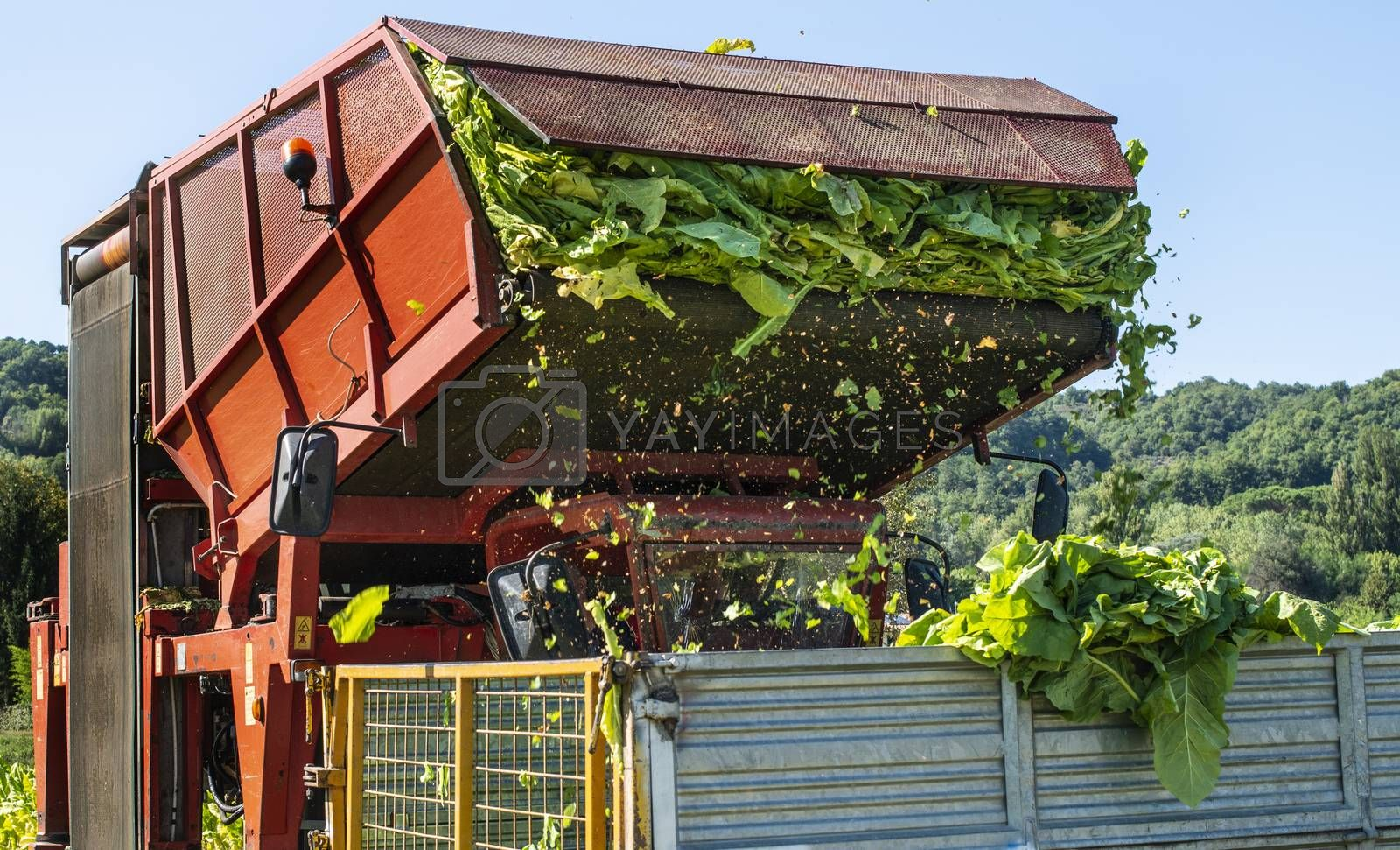 Loading tobacco leaves on truck. Harvest and transport tobacco leaves from plantation. Sunlight.