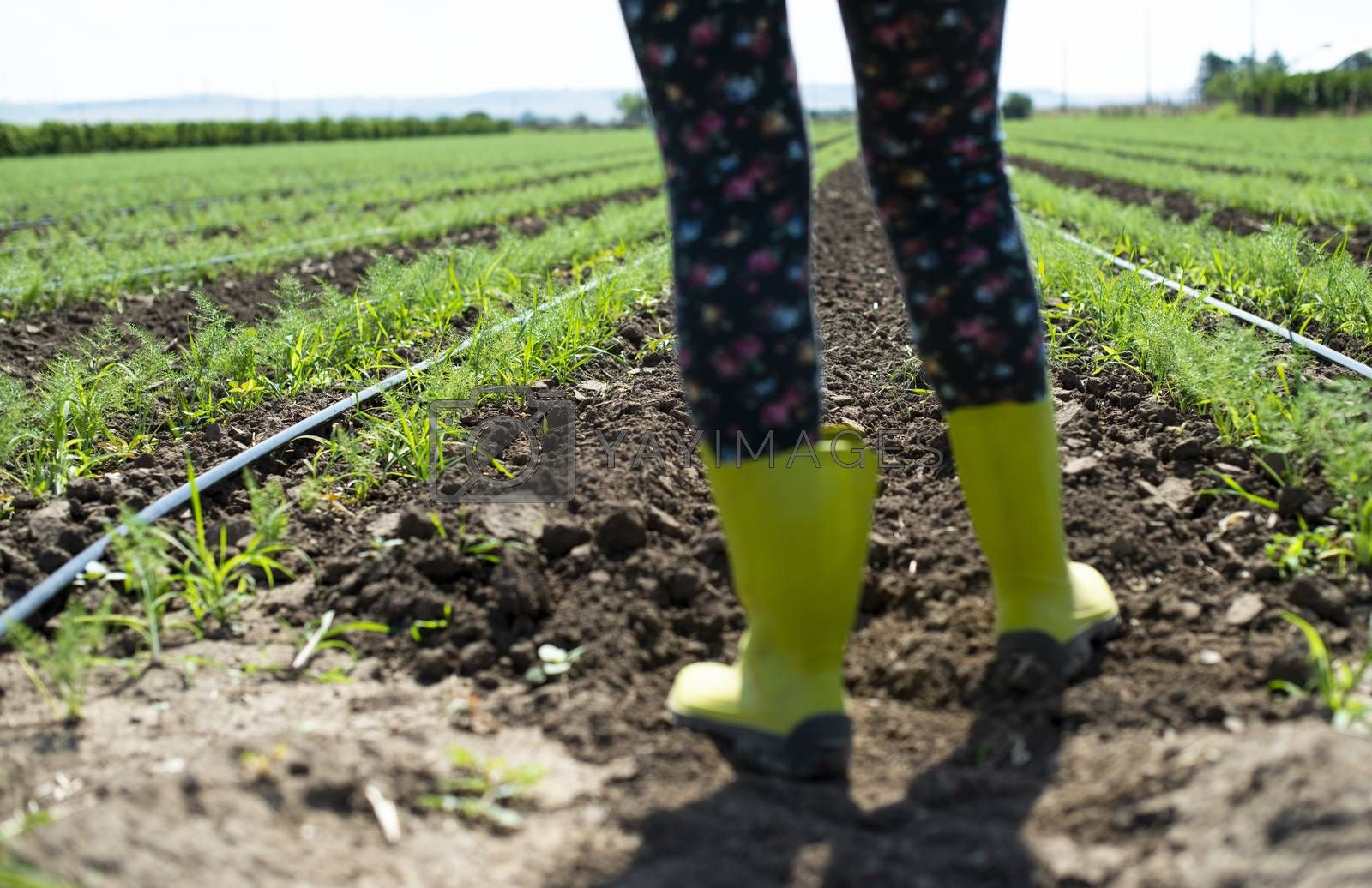 Woman farmer with boots in Fennel plantation. Growing fennel in big industrial farm.