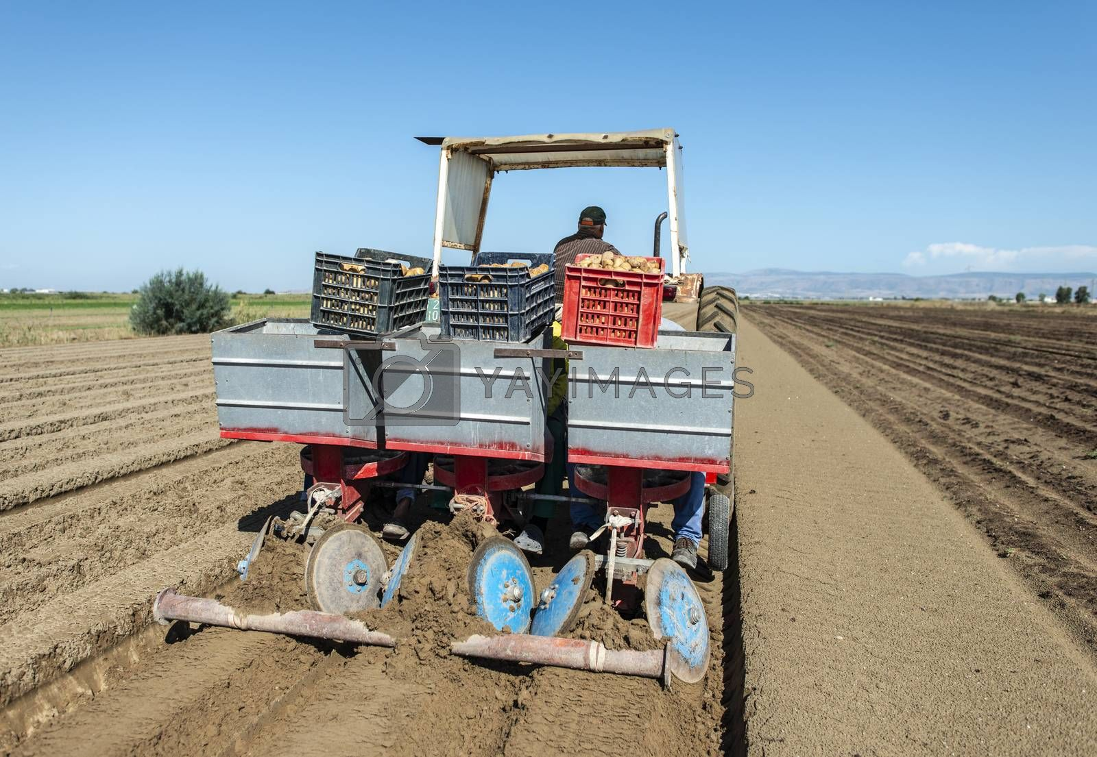 Tractor with crates planting potatoes. Automated agriculture concept for planting potatoes industrially.