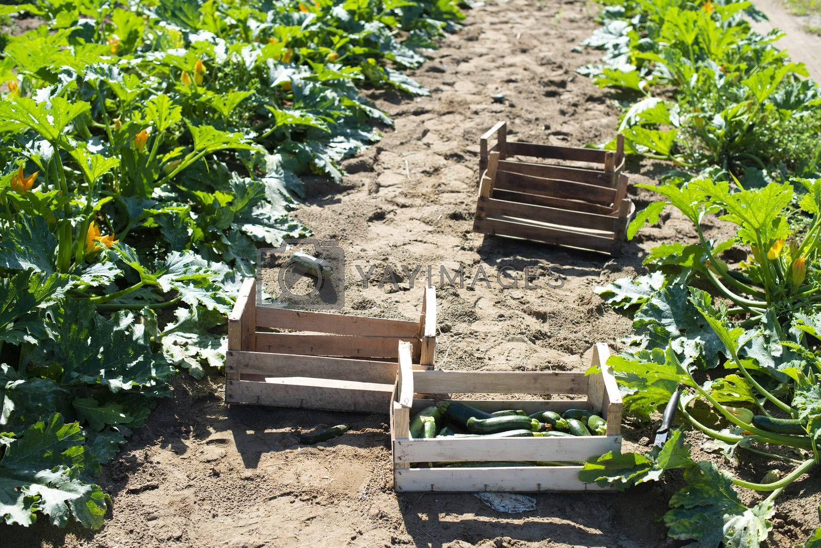 Picking zucchini in industrial farm. Wooden crates with zucchini on the field. Sunny day.