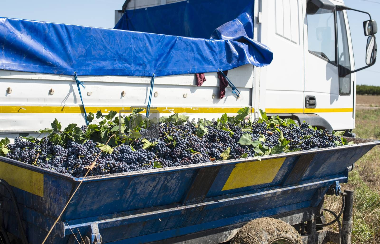 Truck with red grape for wine making. Pile of grape on truck trailer. Picking and transporting grape from vineyard. Wine making concept.