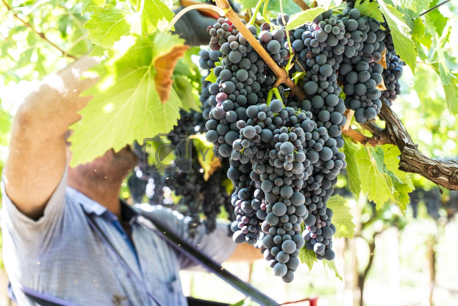 Workers picking red grapes. Harvesting grape for wine making.