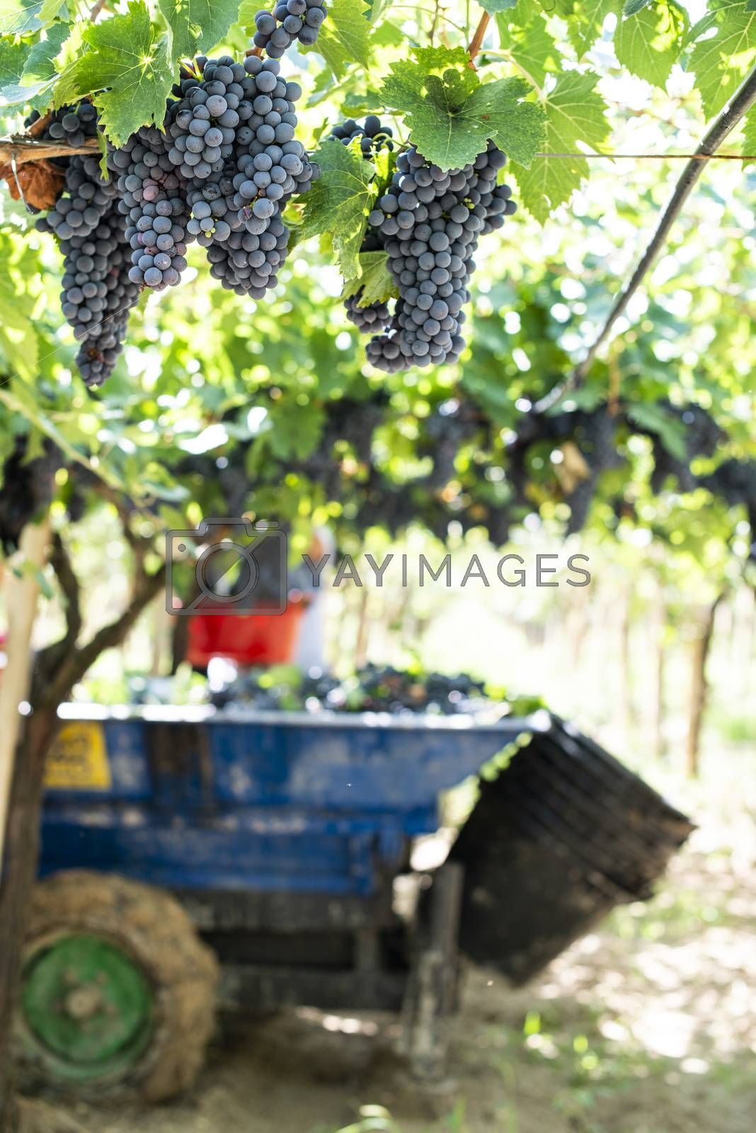 Tractor with trailer filled with red grapes for wine making. Concept for harvesting grapes in vineyard. Inside vineyards.