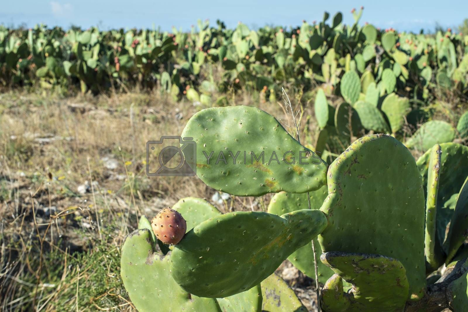 Industrial cactus plantation. Growing cactus. Fruits on cactus. Sunny day.