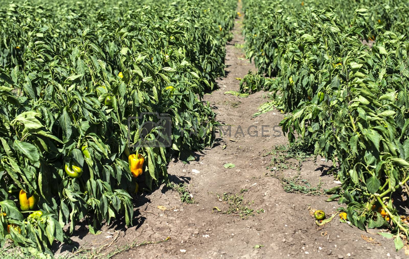 Growing peppers on the field. Natural growing vegetables in farm.
