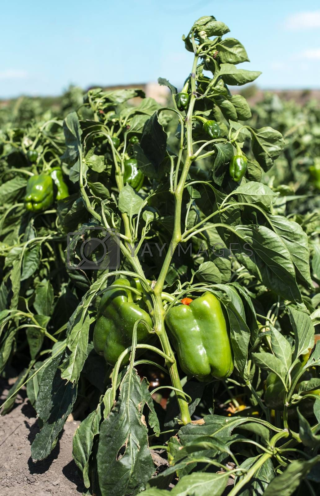 Growing green peppers on the field. Natural growing vegetables in farm.
