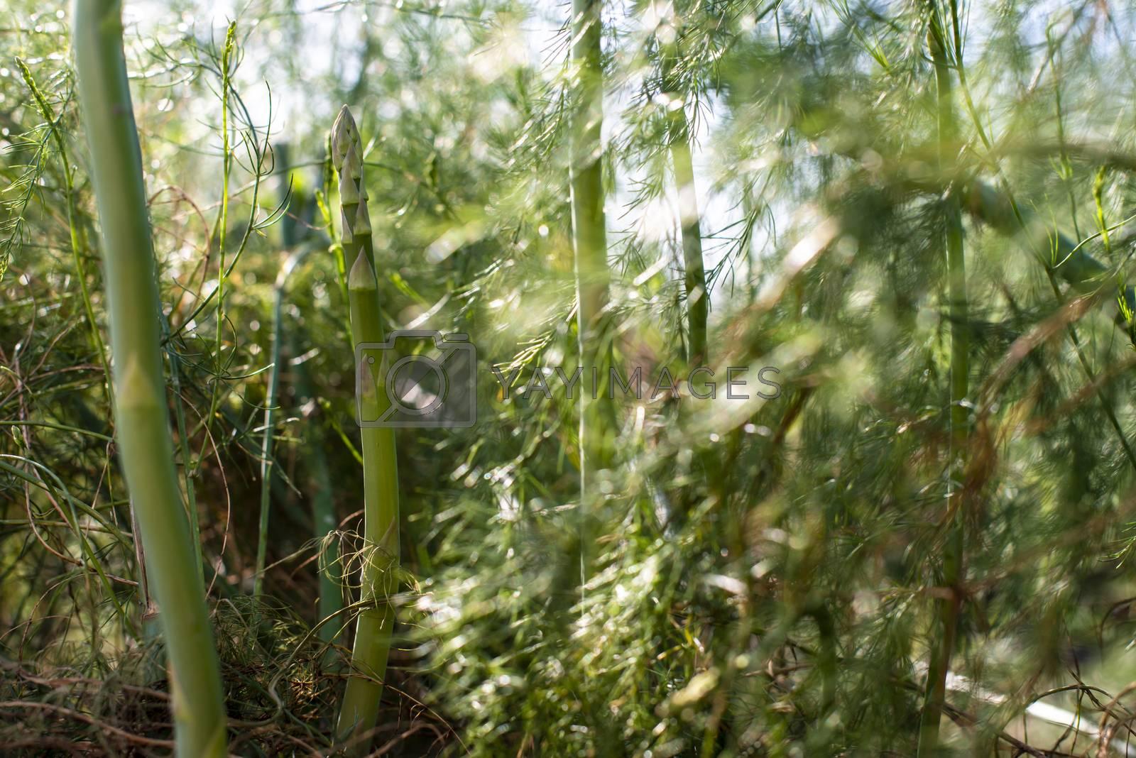 Asparagus plants in the nature. Close-up asparagus. Asparagus in industrial farm.