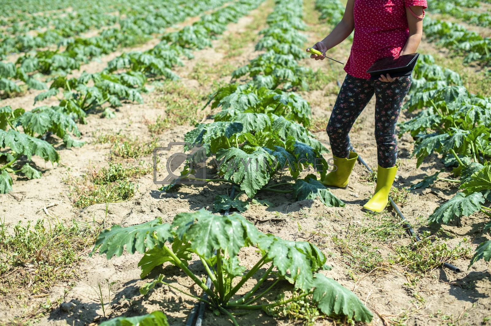 Farmer measure soil in Zucchini plantation. Soil measure device and tablet. New technology in agriculture concept.