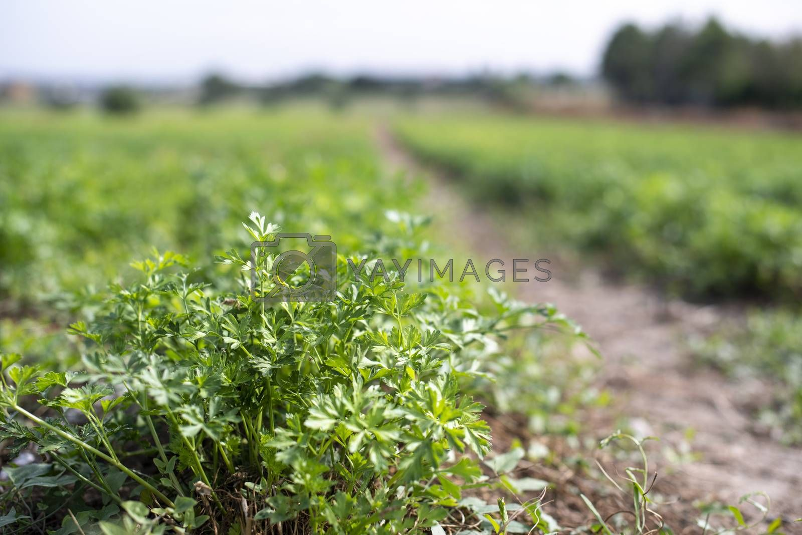 Plantation with Parsley in rows. Close up parsley in farm.