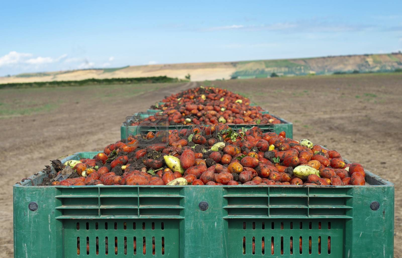 Tomatoes for canning. Agriculture land and crates with tomatoes. Harvested tomatoes.