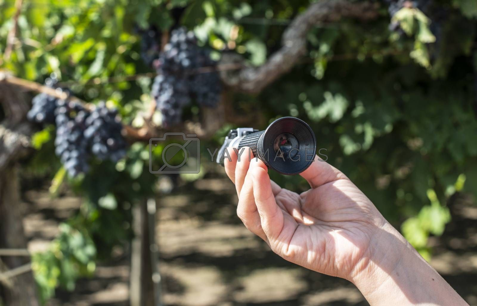 Farmer measures the sugar content of the grapes with refractometer. Device for measuring sugar in grape. Red grapes.