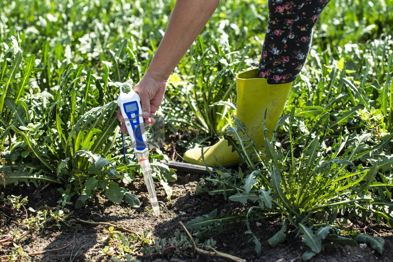 Agriculture industrial farm with chicory. Measure soil in hicory plantation.