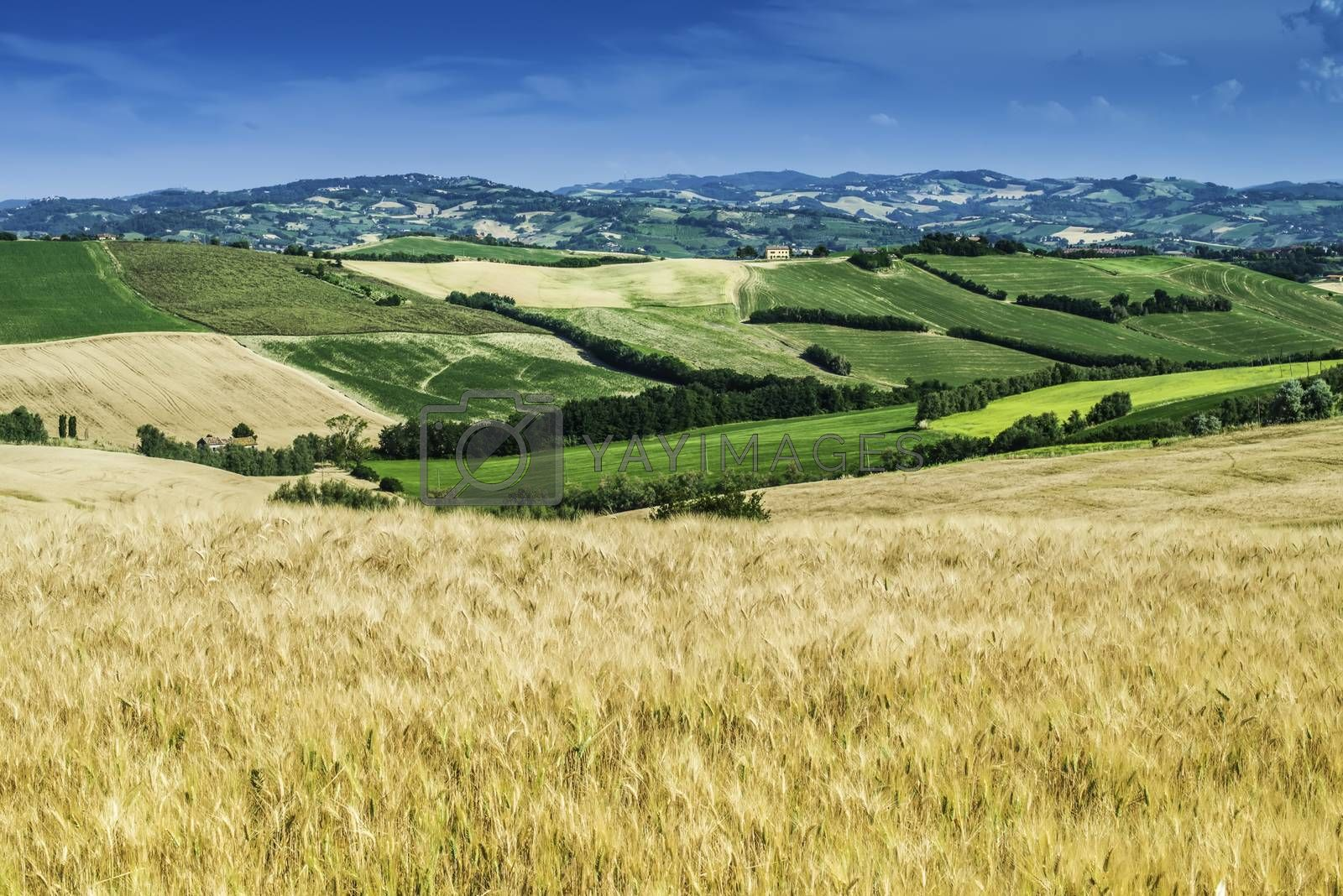 Cereal crops and farm in Tuscany, Italy