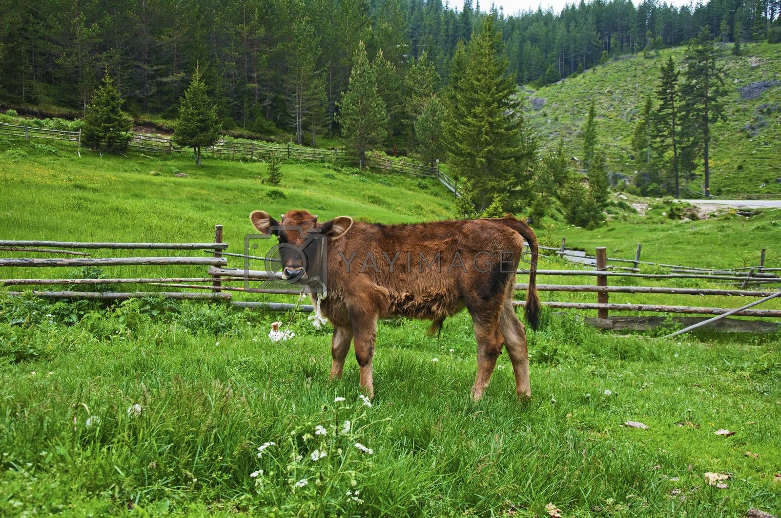 Brown young calf in green mountain meadow