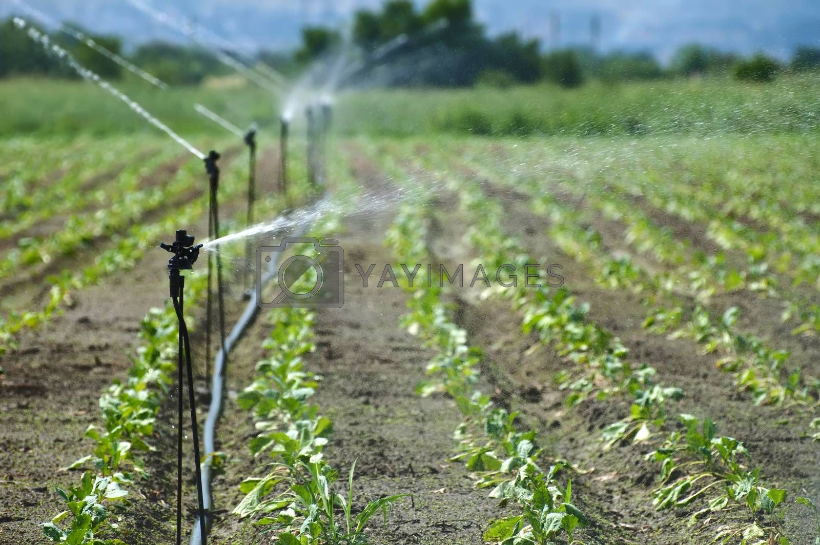 Irrigation on Agricultural land