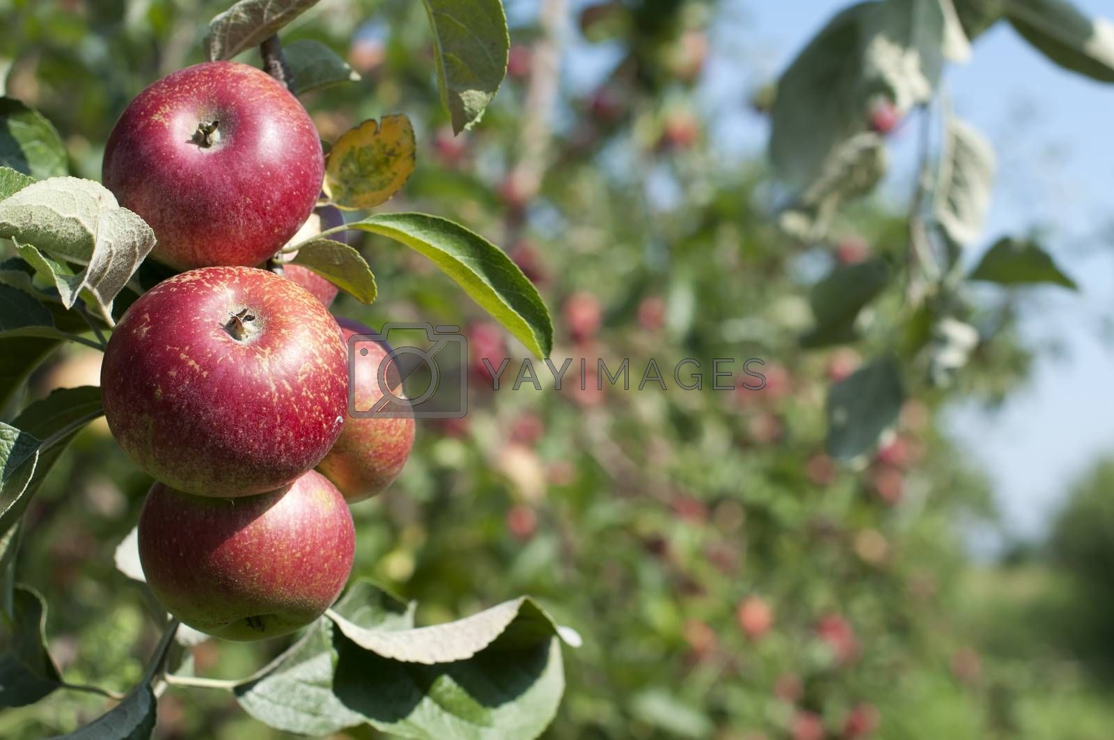 Apple tree with red apples. Blurred apples on background