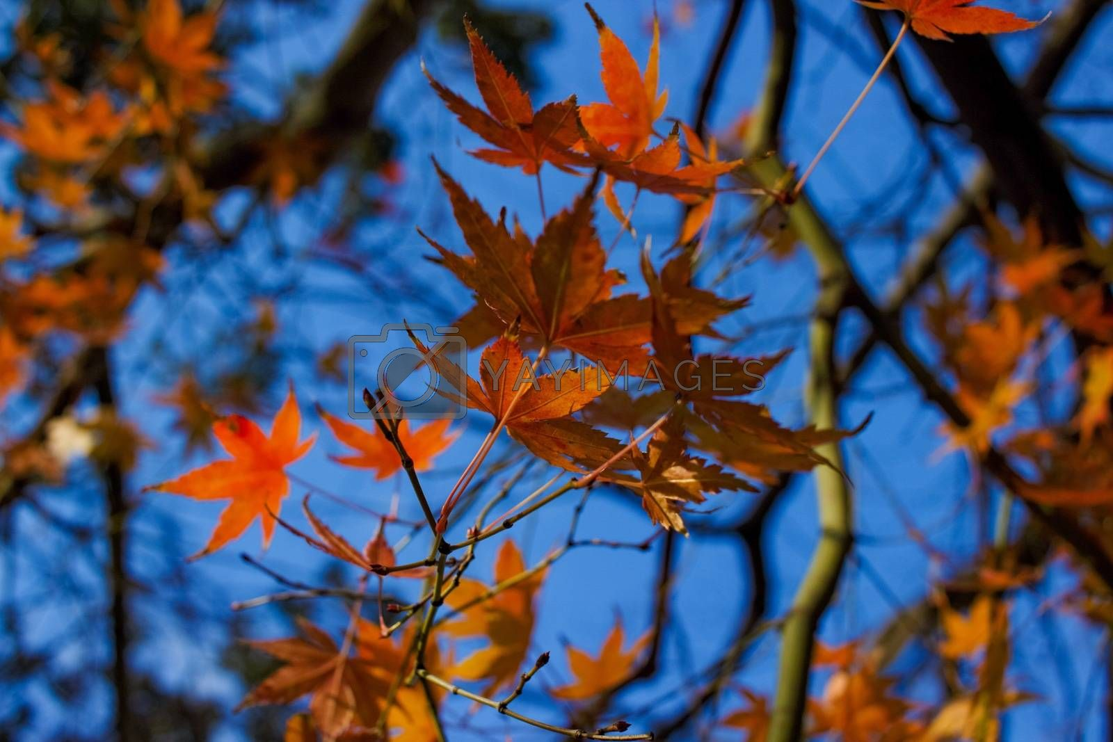 Close up of autumn leaves (Japanese maple)