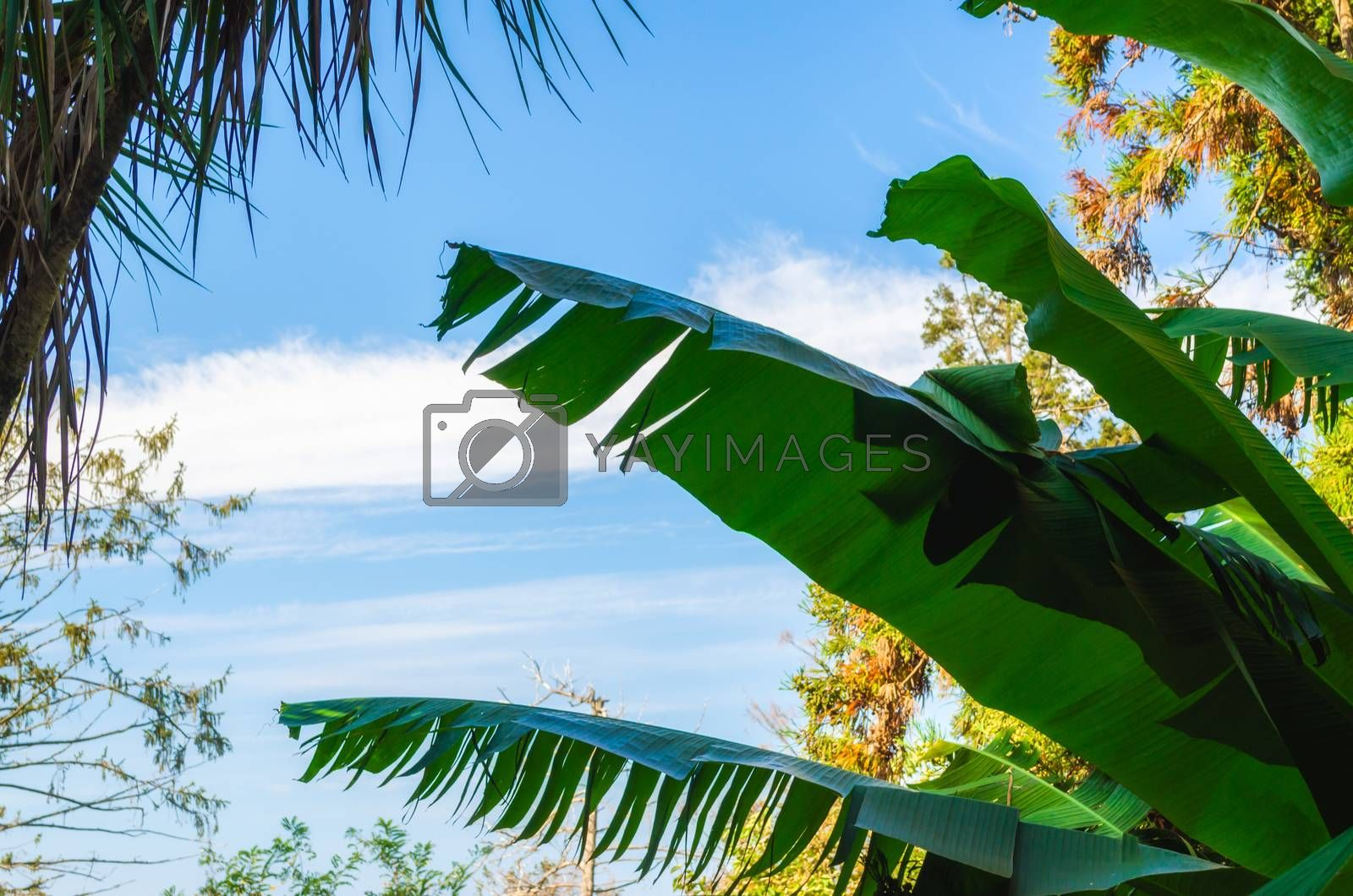 tropical background pattern green fresh juicy palm leaves on a background of blue sky and white clouds