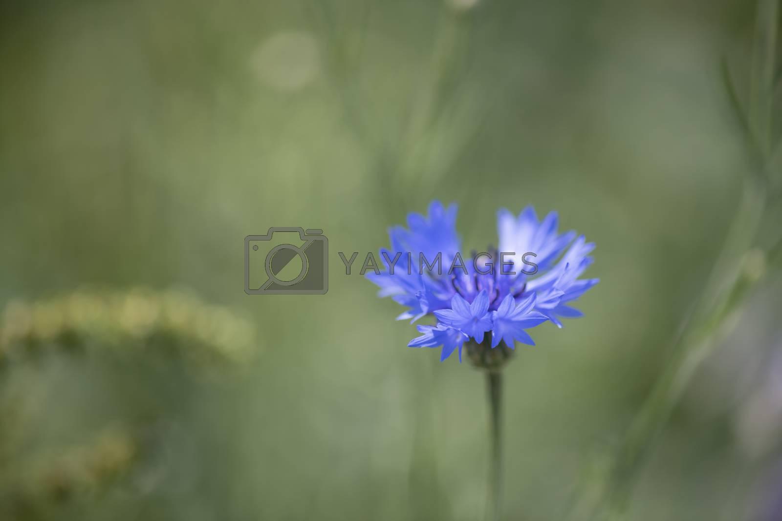 Cornflower Centaurea cyanus also called wild cornflowe belonging to the sunflower family
