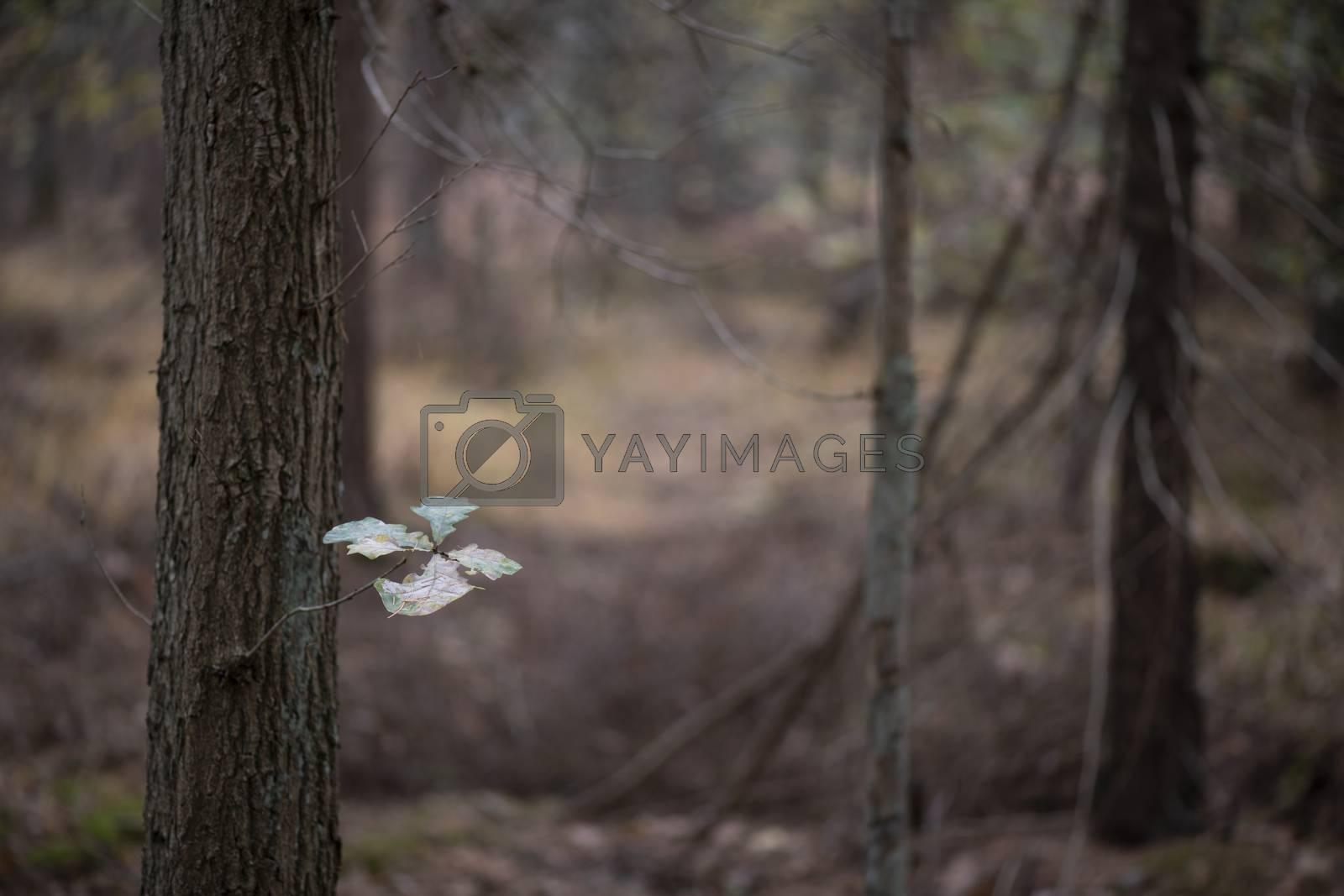 The last five leaves on an oak tree in an autumn-colored forest near Winterswijk in the Achterhoek in Netherlands