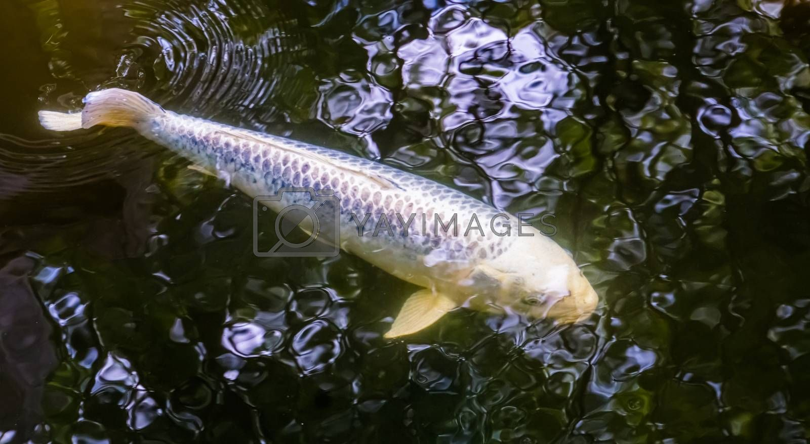 White carp swimming underwater, popular pets for in the pond, Freshwater fish specie
