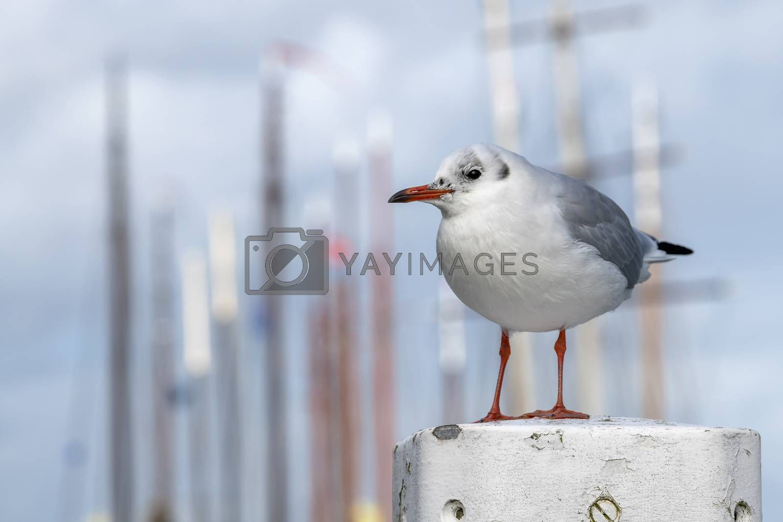 Black-headed gull Chroicocephalus ridibundus to a mooring post in a harbour in the North of the Netherlands