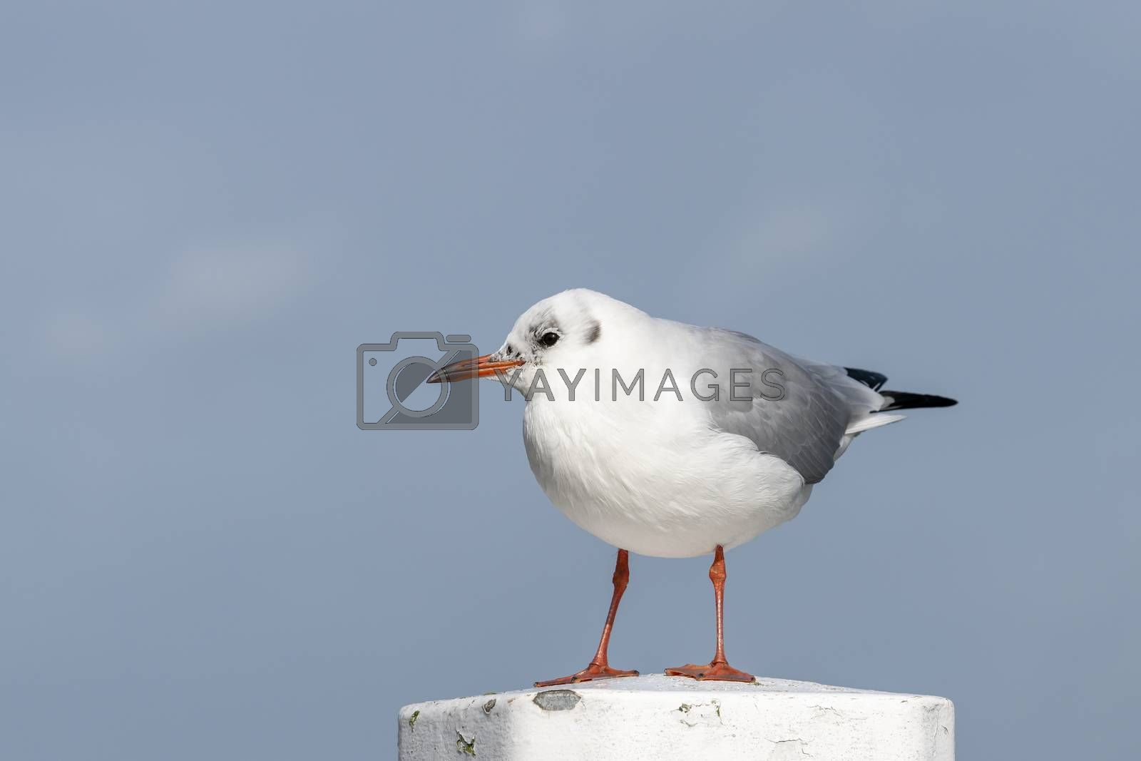 Black-headed gull on a mooring in the harbor   by Tofotografie
