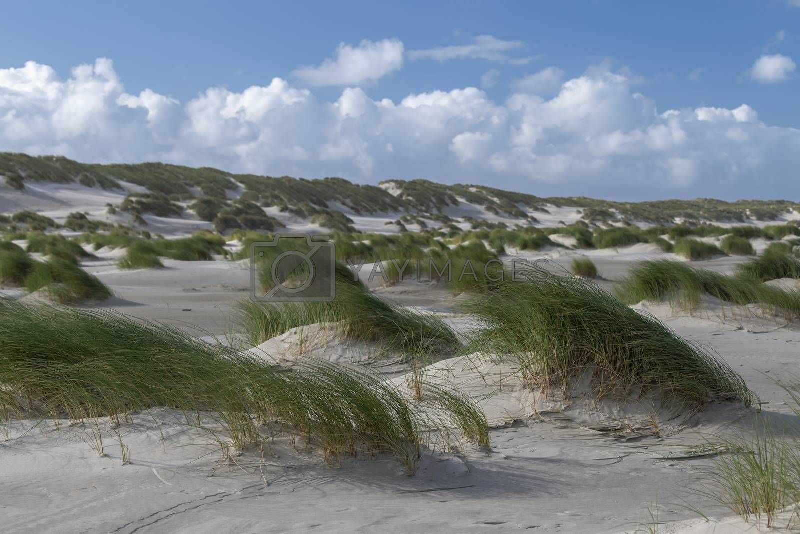 Marram grass in the wind on the beach of Terschelling   by Tofotografie