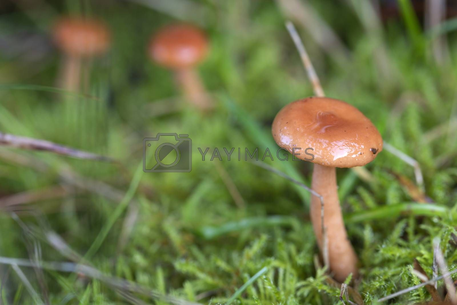 Three small brown mushrooms in the grass